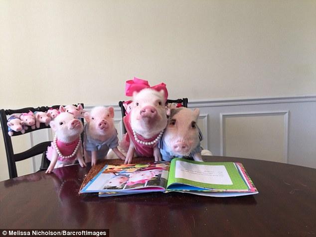 Як гламурні свинки фанів завойовували - фото 3