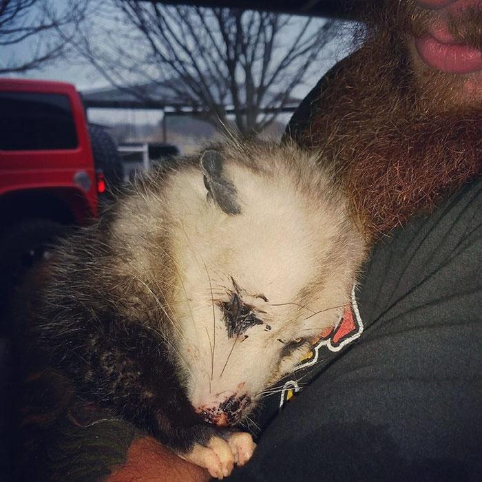 Вагітний опосум, який робив вигляд, що вмер, обіймами подякував рятувальнику  - фото 1