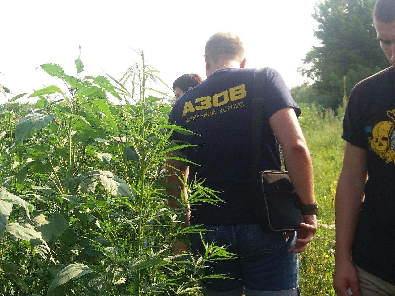 """Під Харковом """"азовці"""" знайшли сховану у кукурудзі коноплю  - фото 1"""