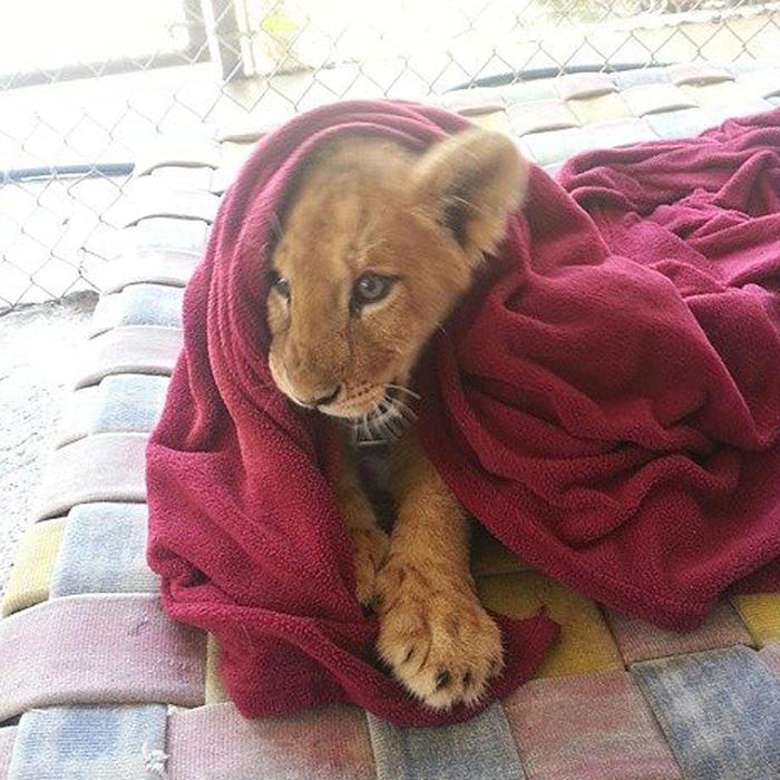 Як врятований лев не може спати без червоної ковдри  - фото 1