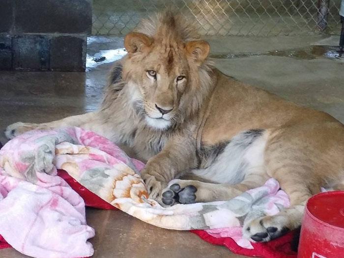 Як врятований лев не може спати без червоної ковдри  - фото 2