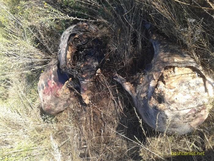 АЧС Шириться Миколаївщиною: на Баштанщині знайшли труп свині з підозрою на чуму - фото 2