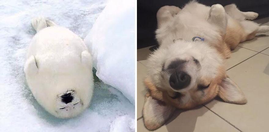 ТОП-5 кумедних тюленів, які надзвичайно схожі на собак - фото 4