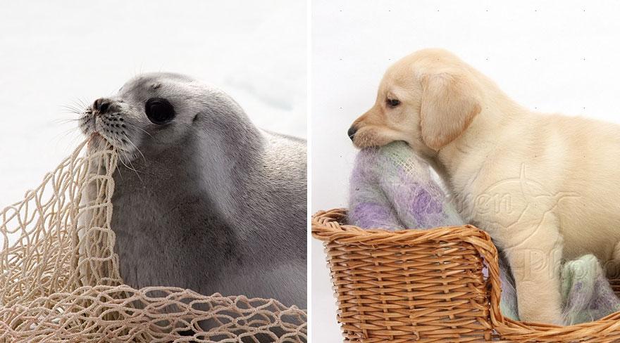 ТОП-5 кумедних тюленів, які надзвичайно схожі на собак - фото 1