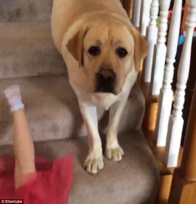 Як дівчинка і лабрадор спускаються сходами на пузі - фото 3