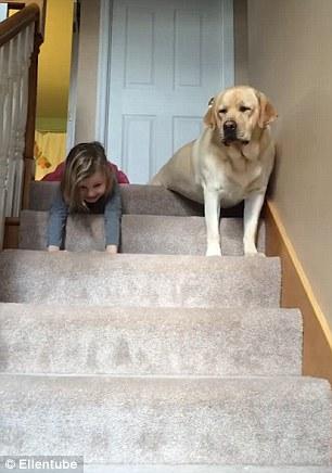 Як дівчинка і лабрадор спускаються сходами на пузі - фото 2