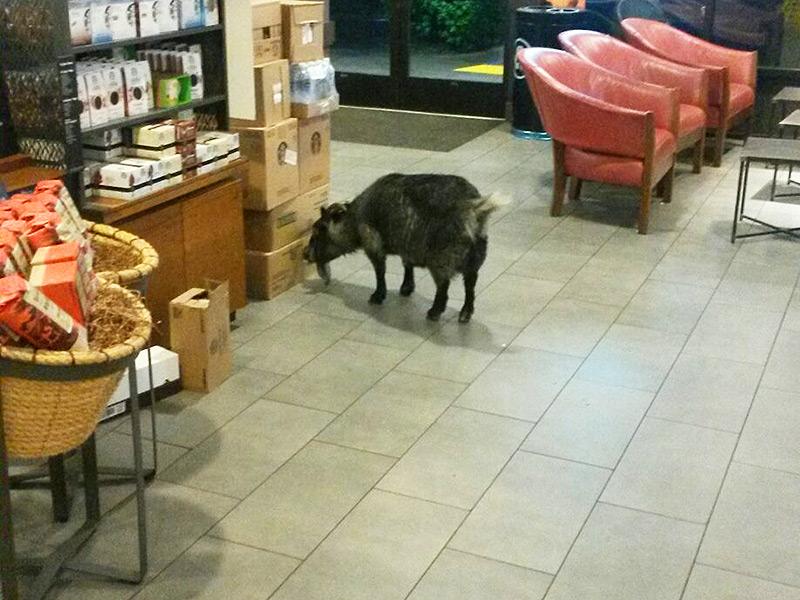Як козел у місті каву шукав - фото 1