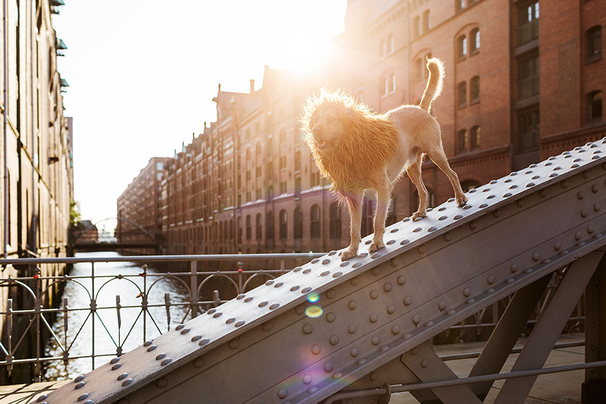 Як бездомний пес, знайдений у смітті, перетворився на Короля Лева - фото 4