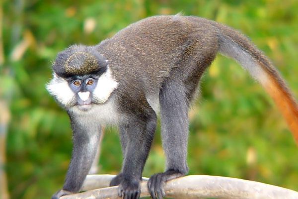 У харківському екопарку оселилася білоноса мавпа - фото 1