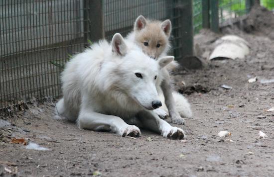 У харківському екопарку народилося троє полярних вовченят - фото 1