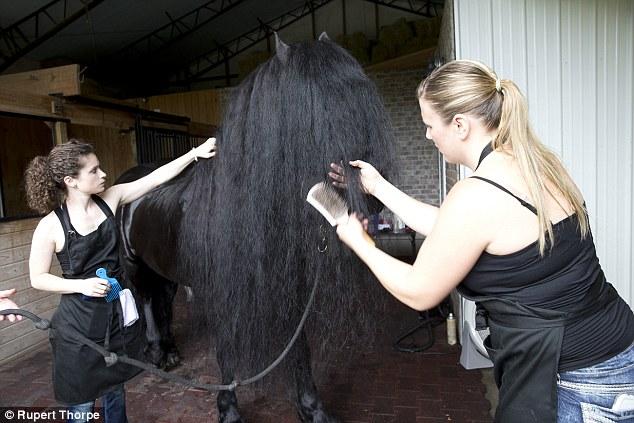 Як найкрасивішому у світі коню завивають гриву - фото 4