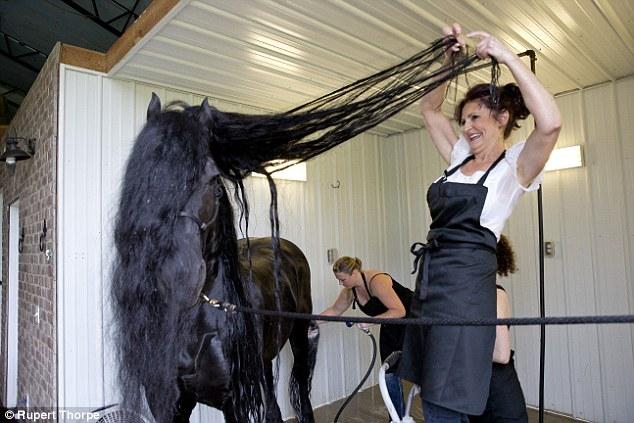 Як найкрасивішому у світі коню завивають гриву - фото 1
