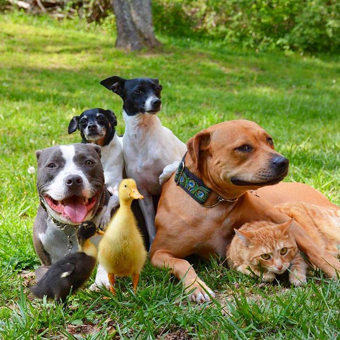 Як чотири собаки, кіт і дві качки стали нерозлучними друзями - фото 2