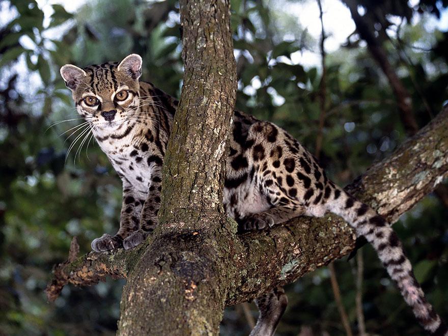 Рідкісні дикі коті, яких ви ніколи не бачили ― фото 16