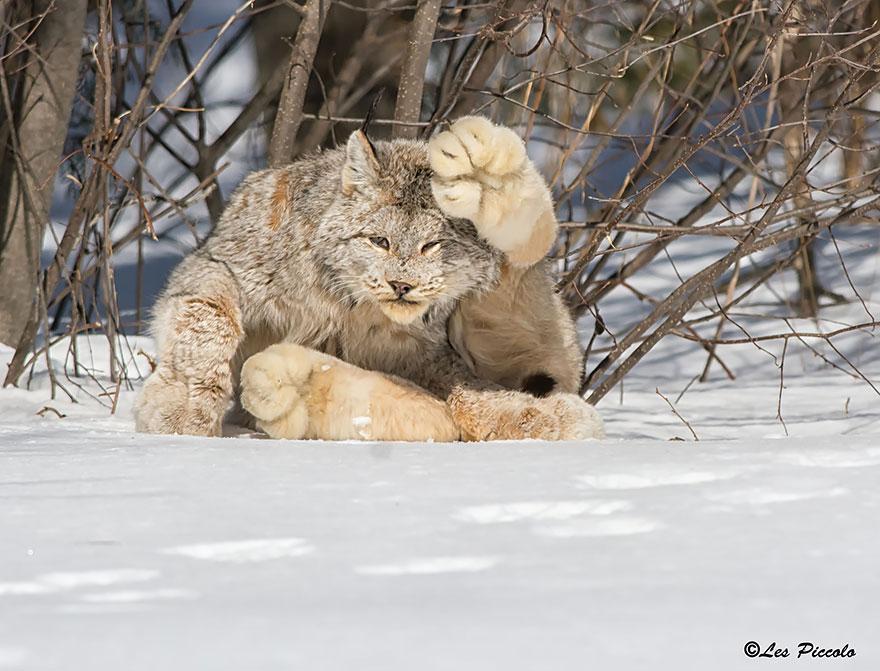 Рідкісні дикі коті, яких ви ніколи не бачили ― фото 2