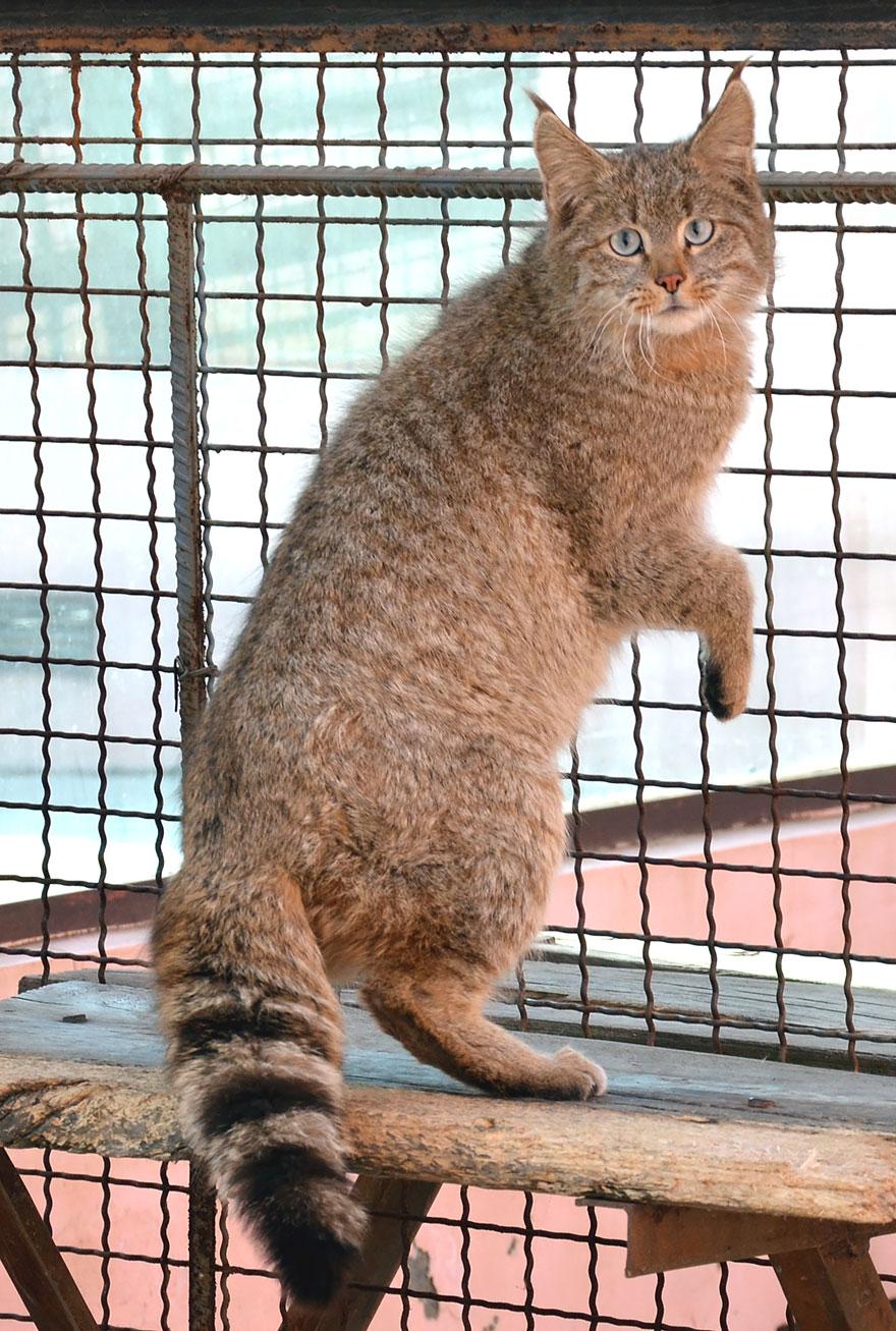 Рідкісні дикі коті, яких ви ніколи не бачили ― фото 15