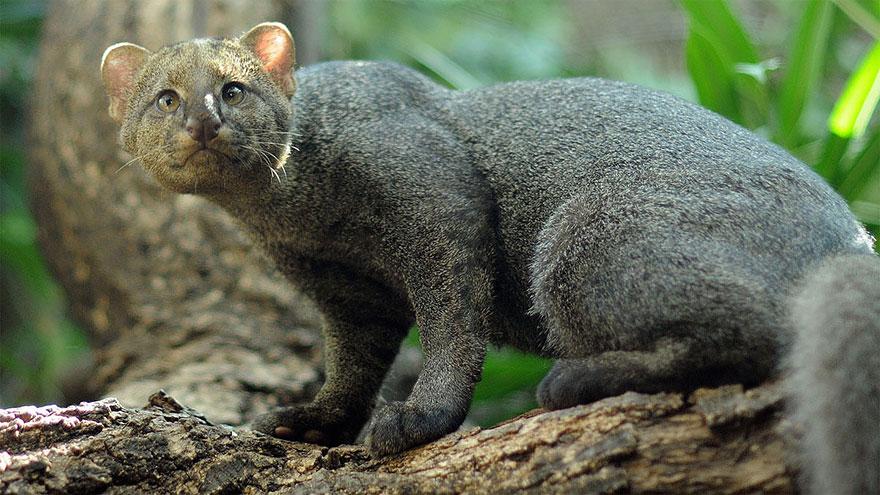 Рідкісні дикі коті, яких ви ніколи не бачили ― фото 8