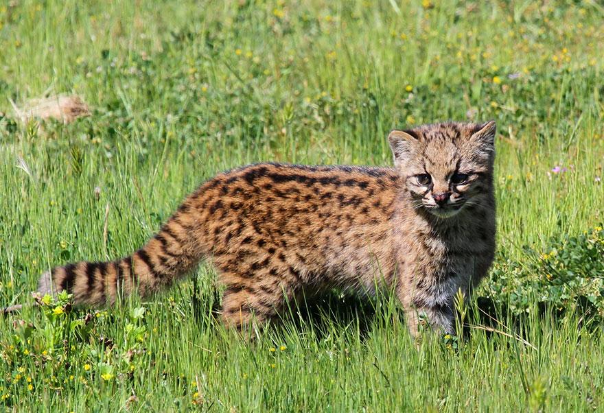 Рідкісні дикі коті, яких ви ніколи не бачили ― фото 7