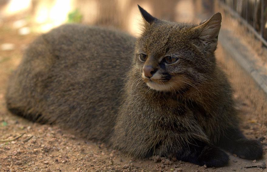Рідкісні дикі коти, яких ви ніколи не бачили ― фото 6