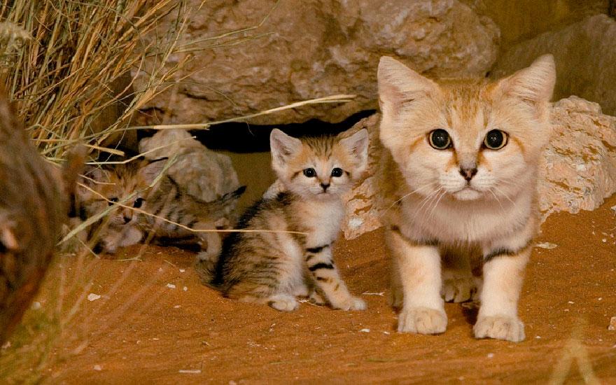 Рідкісні дикі коті, яких ви ніколи не бачили ― фото 14