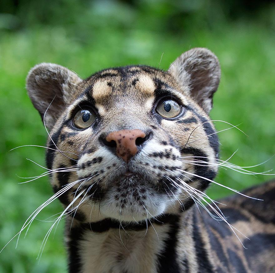 Рідкісні дикі коті, яких ви ніколи не бачили ― фото 4