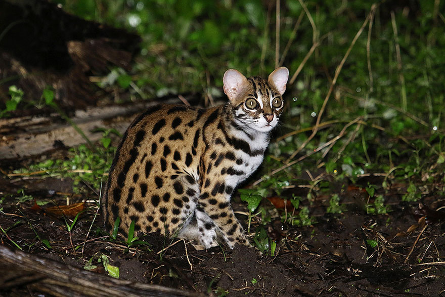 Рідкісні дикі коті, яких ви ніколи не бачили ― фото 3