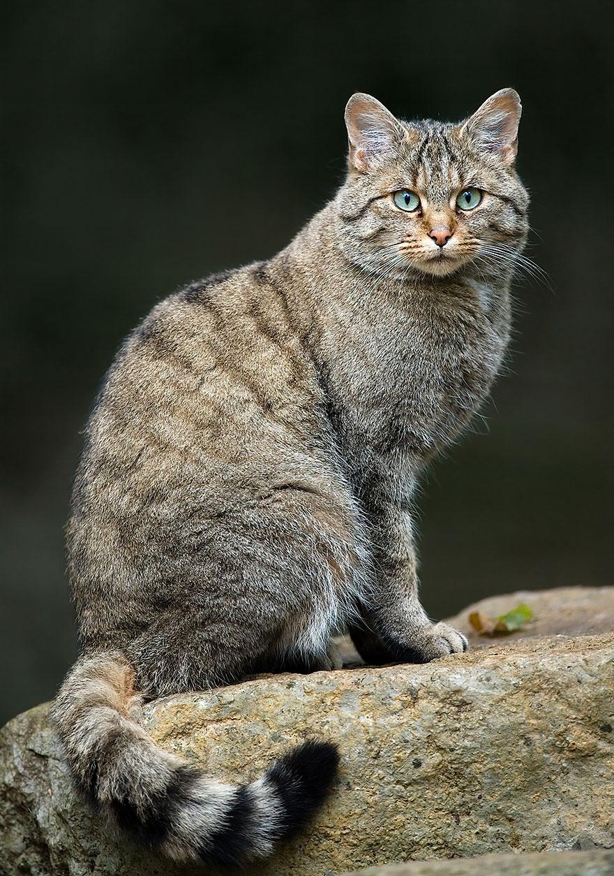 Рідкісні дикі коти, яких ви ніколи не бачили ― фото 1
