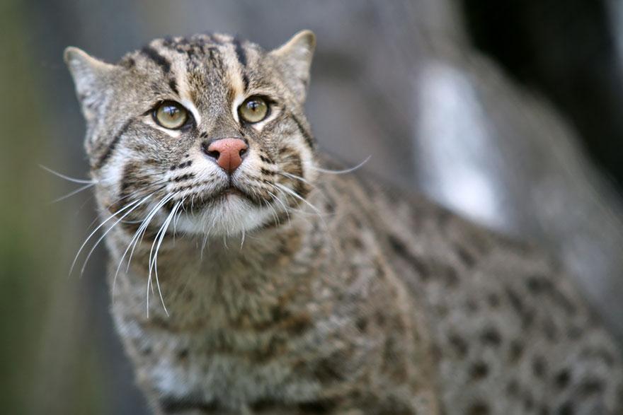 Рідкісні дикі коти, яких ви ніколи не бачили ― фото 13