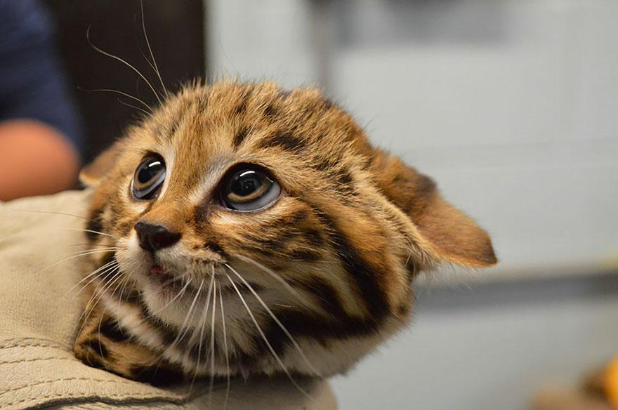 Рідкісні дикі коті, яких ви ніколи не бачили ― фото 12