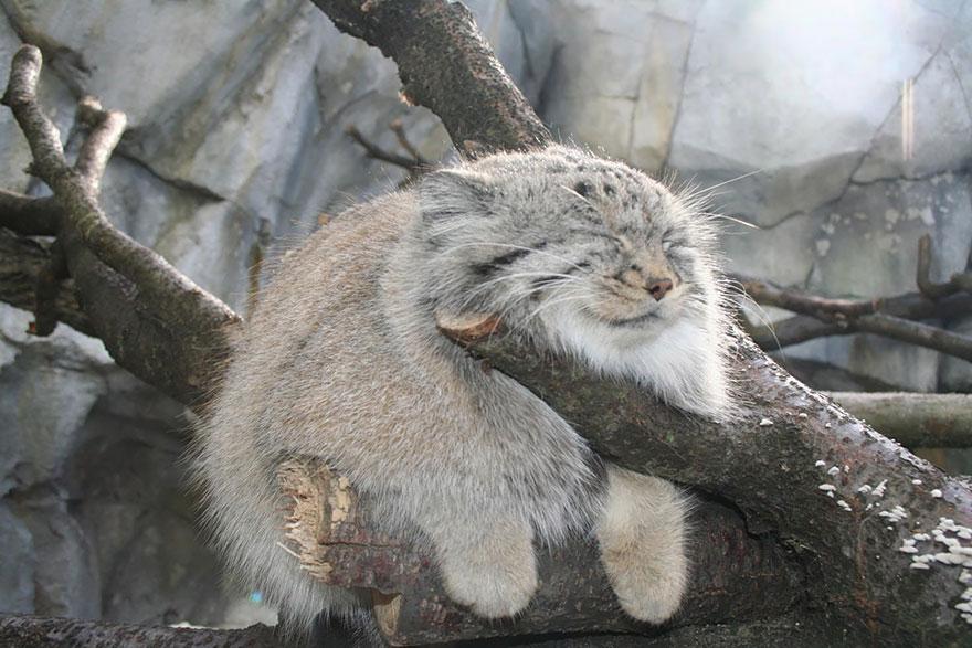Рідкісні дикі коті, яких ви ніколи не бачили ― фото 11