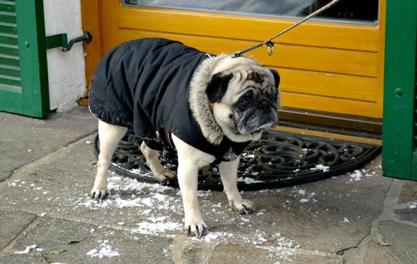 Холод собачий: ТОП-20 собак у зимовому одязі - фото 19