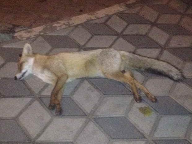 Мелітопольців налякала дохла лисиця у центрі міста - фото 1