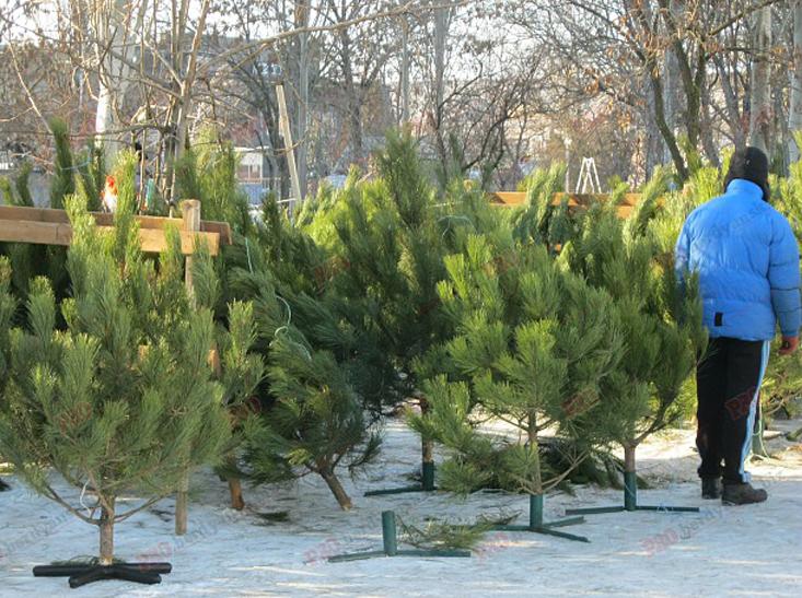 У Бердянську новорічні ялинки коштують від 70 гривень - фото 2