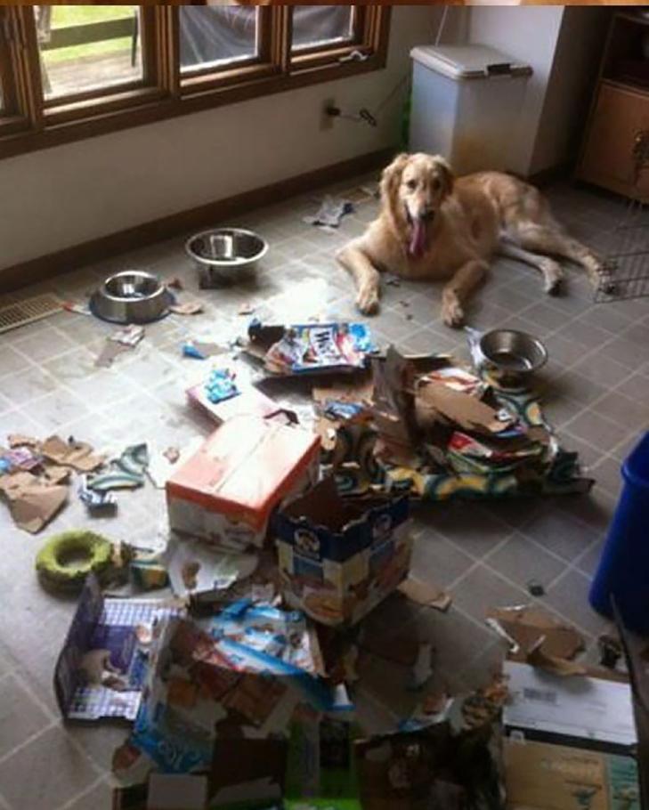 25 фото, чим зайняті собаки, коли господарів немає вдома - фото 10