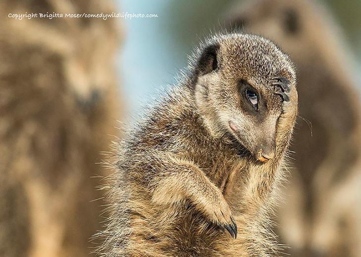 40 найсмішніших тварин з конкурсу Comedy Wildlife Photography Awards 2016 - фото 1