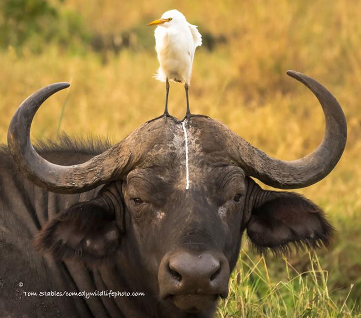 40 найсмішніших тварин з конкурсу Comedy Wildlife Photography Awards 2016 - фото 26