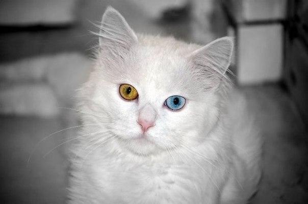 Вісім неймовірно красивих тварин з різнокольоровими очима  - фото 6