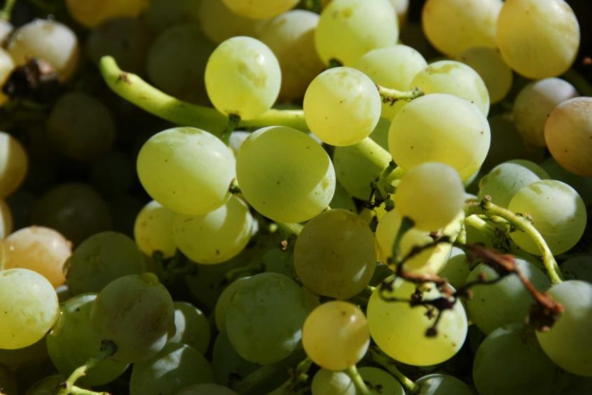 Шиндер з Гальжбіївки вирощує дві сотні сортів винограду і радить пити тільки сухе вино - фото 2