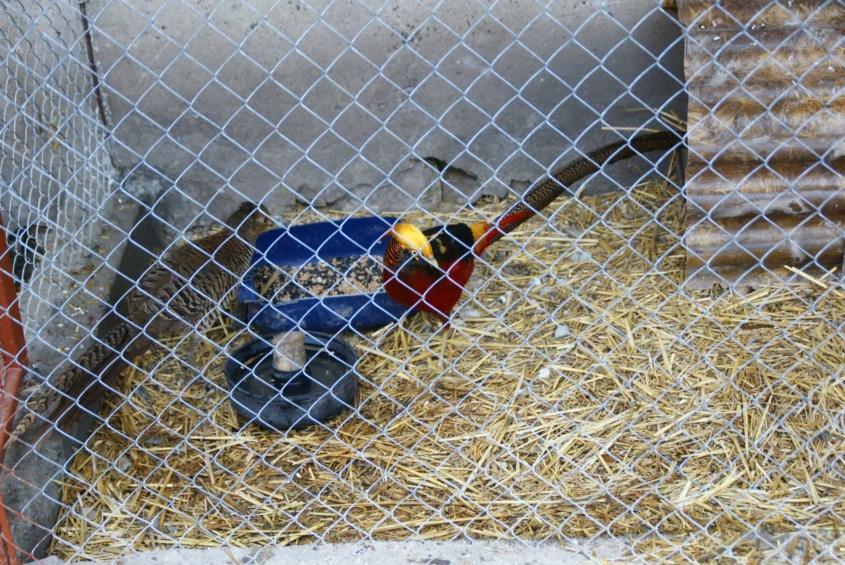 На сільському подвір'ї жителя Вінниччини пасуться страуси, фазани і дика свиня  - фото 12