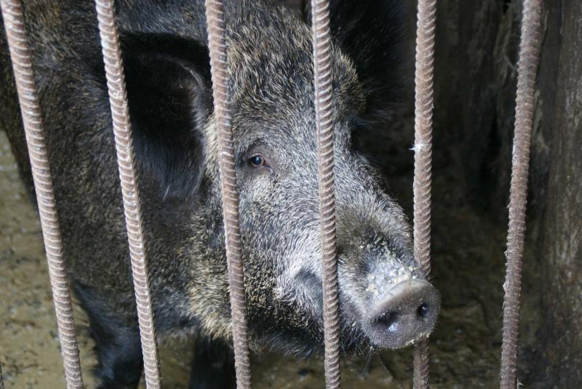 На сільському подвір'ї жителя Вінниччини пасуться страуси, фазани і дика свиня  - фото 10