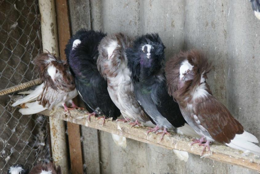 На сільському подвір'ї жителя Вінниччини пасуться страуси, фазани і дика свиня  - фото 7