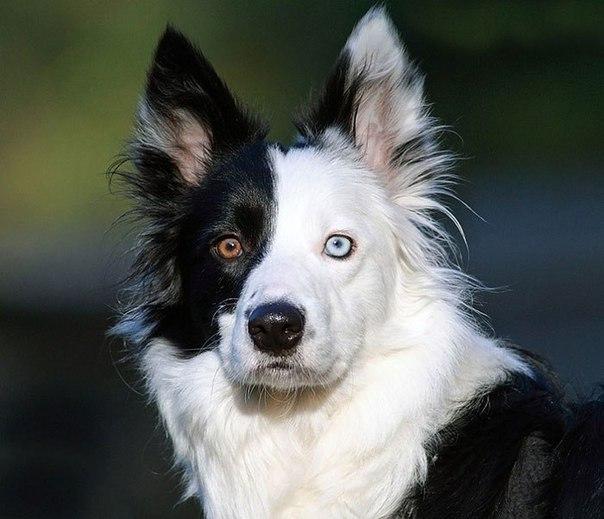 Вісім неймовірно красивих тварин з різнокольоровими очима  - фото 5