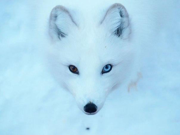 Вісім неймовірно красивих тварин з різнокольоровими очима  - фото 4