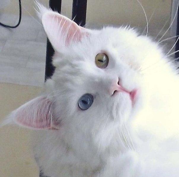Вісім неймовірно красивих тварин з різнокольоровими очима  - фото 3