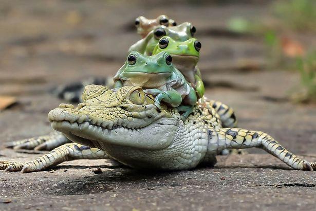 Як жаби на крокодилі катались - фото 1