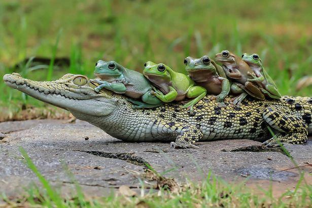Як жаби на крокодилі катались - фото 2