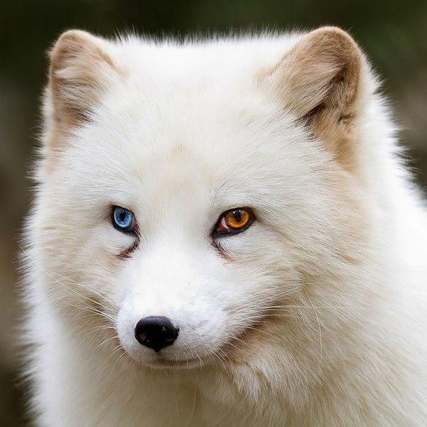 Вісім неймовірно красивих тварин з різнокольоровими очима  - фото 2