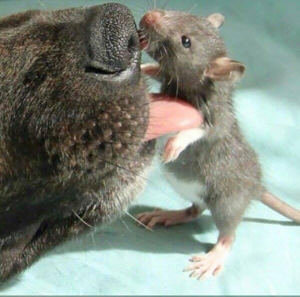 Як песик з пацюком цілується - фото 5