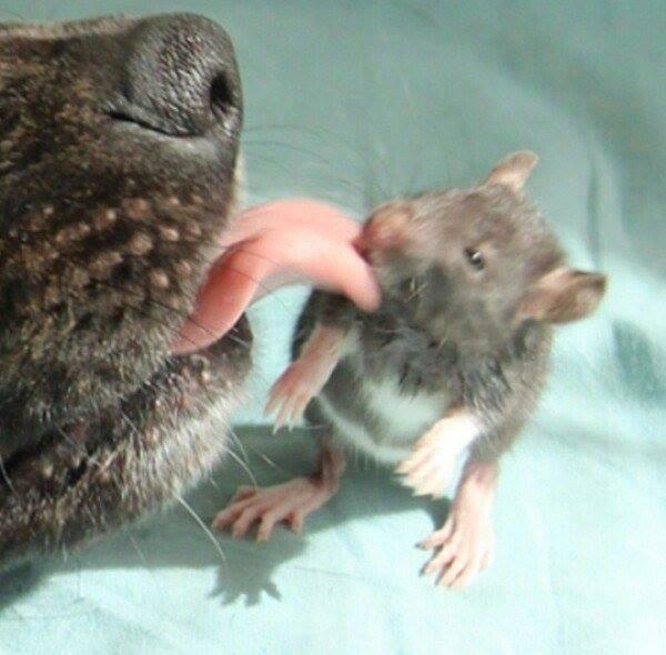 Як песик з пацюком цілується - фото 3