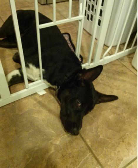 ТОП-7 собак, які навчились обходити домашні закони - фото 2